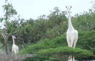 مقتل الزرافة البيضاء الوحيدة في العالم وصغيرها، على يد صيادين غير شرعيين