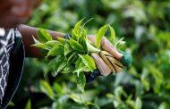 مجلس الشيوخ يوافق على لوائح جديدة تمهد الطريق لتغييرات جذرية في قطاع انتاج الشاي